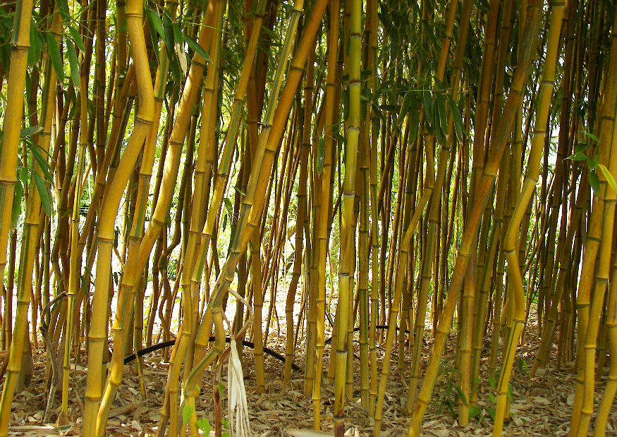 phyllostachys aureosulcata 39 spectabilis 39 gr n gelb. Black Bedroom Furniture Sets. Home Design Ideas