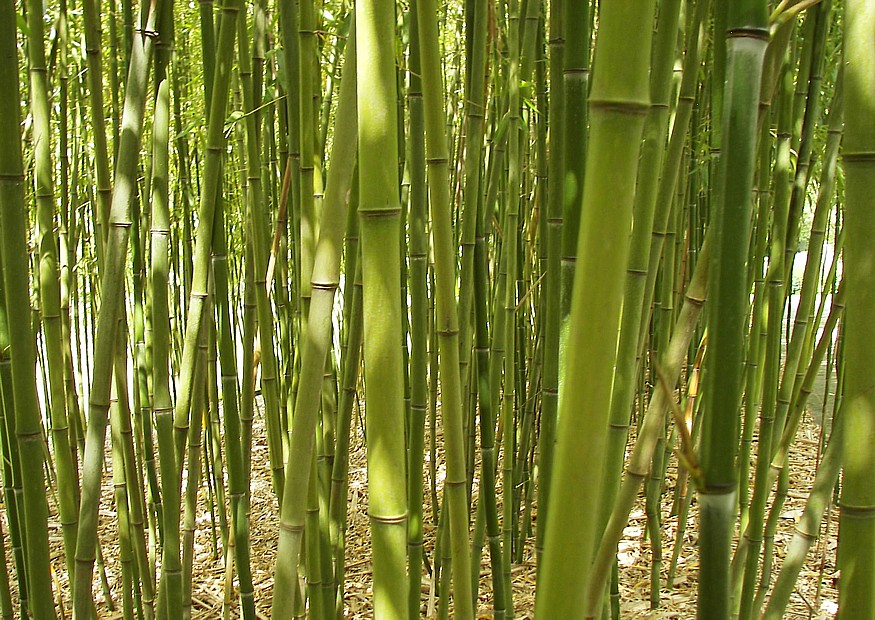 39 gr ner pulver bambus 39 phyllostachys viridiglaucescens. Black Bedroom Furniture Sets. Home Design Ideas