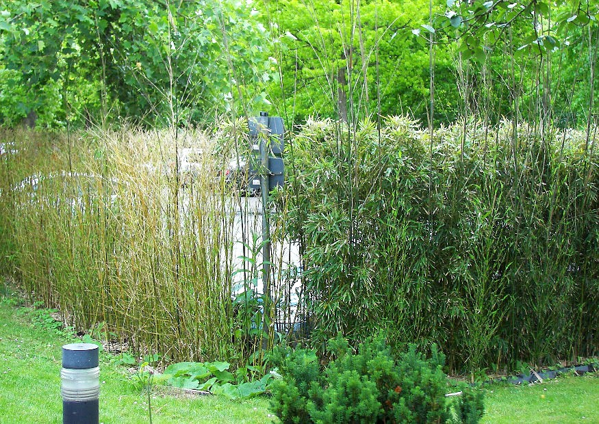 phyllostachys aureosulcata 39 aureocaulis 39 goldener peking bambus gelbes bambusrohr. Black Bedroom Furniture Sets. Home Design Ideas