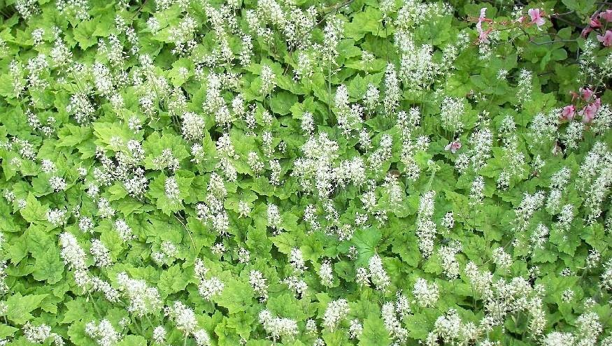 tiarella cordifolia die schaumbl te schaumkerze. Black Bedroom Furniture Sets. Home Design Ideas