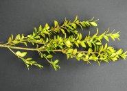buchsbaumstecklinge schneiden wann wie lang schneiden. Black Bedroom Furniture Sets. Home Design Ideas
