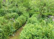 buchsbaum selber vermehren eigene anzucht von hecken. Black Bedroom Furniture Sets. Home Design Ideas