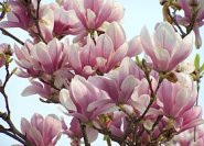 Magnolia x soulangiana im April