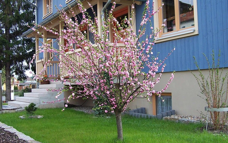 mandelb umchen prunus triloba ein geh lz f r den vorgarten oder steingarten st mmchen. Black Bedroom Furniture Sets. Home Design Ideas