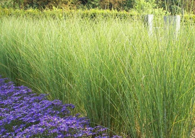 Winterharte hohe ziergr ser for Tall ornamental grasses for screening