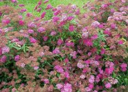 Spiraea x bumala 'Anthony waterer'.