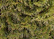 Thuja occidentalis 'Brabant'.