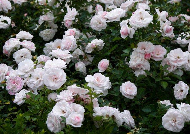 Aspirin® Rose\' - niedrige Beetrose, besondere Blüten