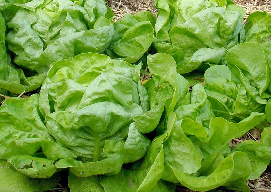 kopfsalat anbauen salatanbau aussaatzeitpunkt freiland und gew chshaus wintersalat sorten. Black Bedroom Furniture Sets. Home Design Ideas