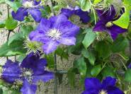 Lady Betty Balfour blaue Clematis