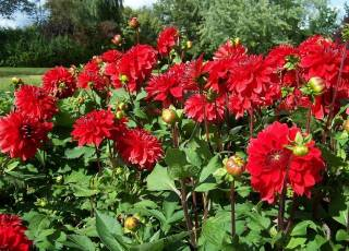 'Heat Wave' rote dekorative Dahlien.