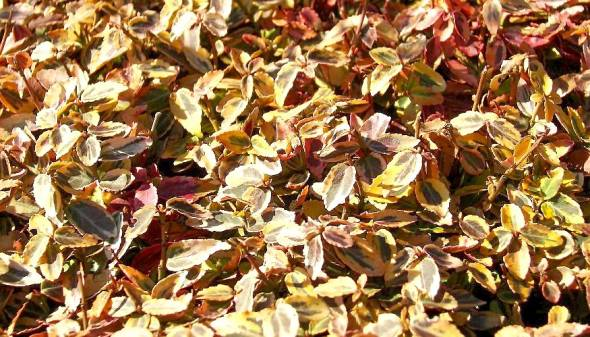 Euonymus fortunei Emeraldn Gold im Winter