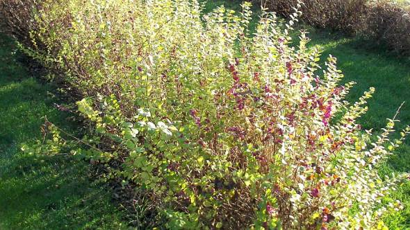 Symphoricarpos Magic Berry