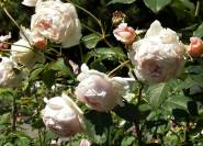 'Lord Oberon' - Englische Rose