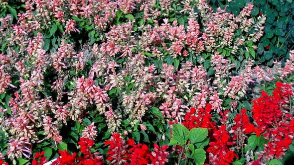 Salvia splendens Salsa Salomon