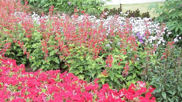 Blumenrabatte Salvia coccinea Lady in Red
