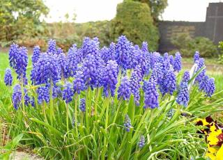 Traubenhyazinthen Muscari