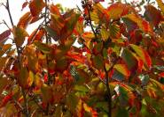 Indianersommer rotes herbstlaub am Hamamelis